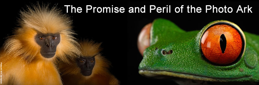 Gee's Golden Langurs and Red-eyed tree frog images © 2014 Joel Sartore. http://www.joelsartore.com/galleries/photo-ark-greatest-hits/